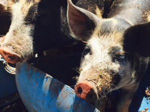 Urban Digs Pigs